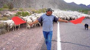 Deal allows sheep drive to continue - for now