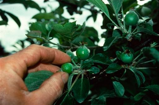 Gardening-Thinning Fruit