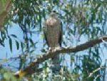Hawks harrying Gainey Ranch