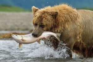 "<p>This image released by Disney shows a bear named Chinook in a scene from ""Bears."" (AP Photo/Disney, Oliver Scholey)</p>"