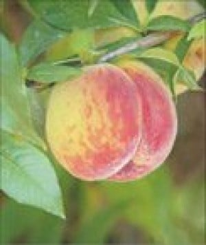 East Valley growers tout this year's peach crop
