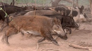Wild hogs spotted in 4 Arizona counties