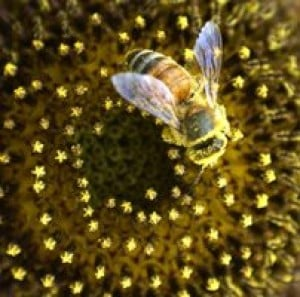 Spring brings swarms of Africanized bees