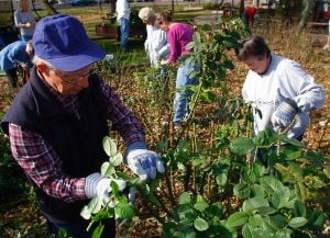 Volunteers needed to help prune roses