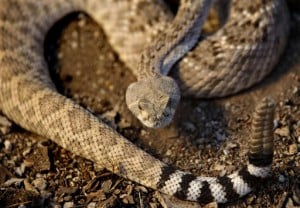 Silent Rattlesnakes