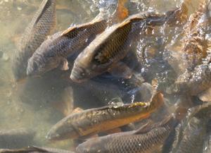 SRP Fish Herding