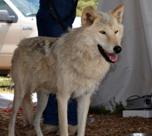Wild Spirit Wolf Santuary