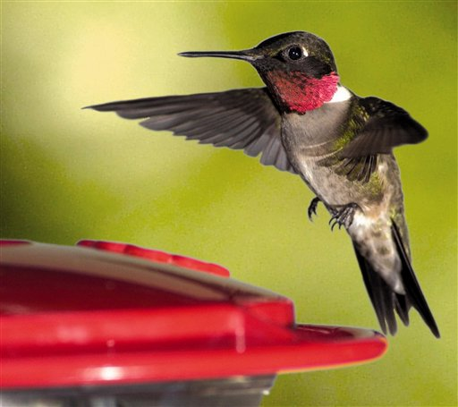 Pets_Hummingbirds1