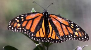 Majestic Monarchs at the botanical garden