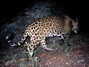 GPS collar tracking jaguar's movements