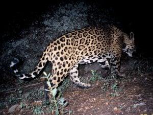 GPS collar tracking jaguar's movements