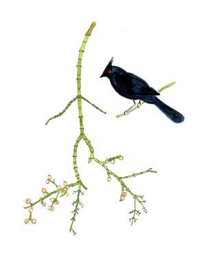 Desert mistletoe