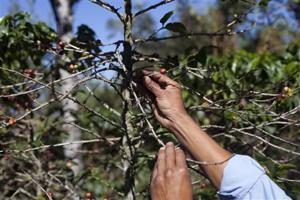 Coffee Plant Disease