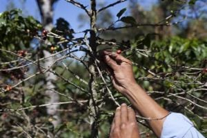 Coffee Plant Disease