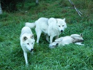 <p>Some of the wolves at Aventuraid/Parc Mahikan, north of Girardville in Quebec. [Steve Bergsman/Special to Tribune]</p>