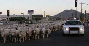 Sheep Drive in 2005