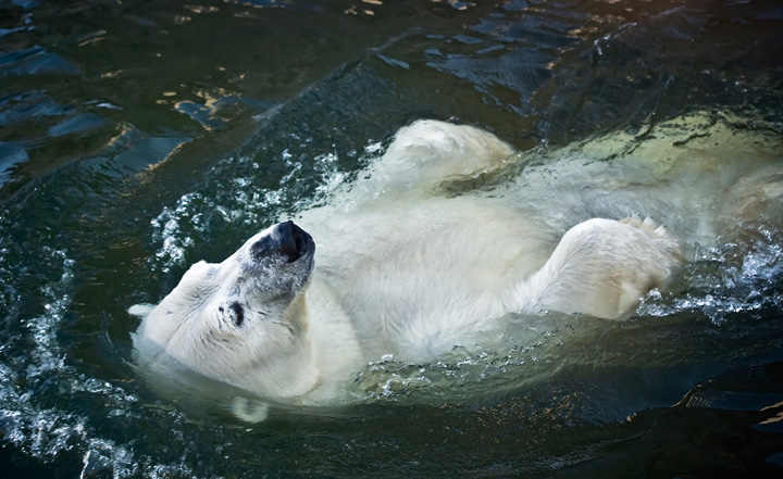 polar bear