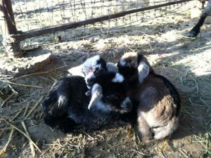Missing Baby Goats