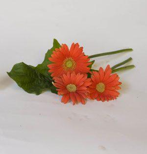Plant of the week: Gerbera daisy