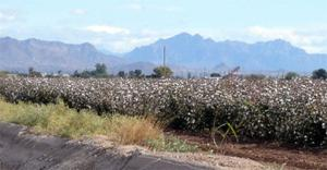 Arizona's cotton production ticks up