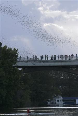 Bat flight in Austin
