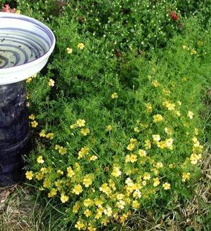 Gardening-Lemon Gem Marigold
