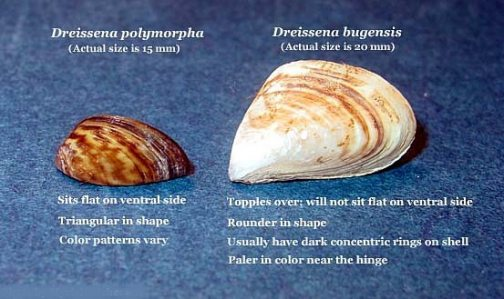 Outdoors: Quagga mussel invasion confirmed at Lake Pleasant 