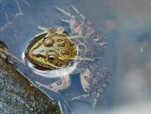 Mesa students' project seeks to save rare frogs
