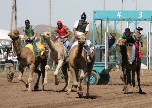 Camel races