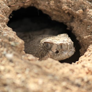 Video: San Tan Mountain Regional Park: Snake Safety