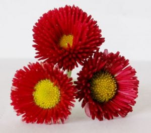 Plant of the week: English daisy