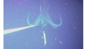 Giant squid photographed for first time