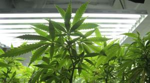 2 marijuana initiative drives under way