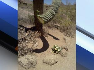 Damaged Saguaro