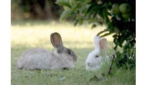 Gilbert area sees glut of rabbits