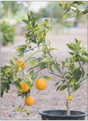 TLC is key for your citrus tree