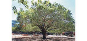 ASU babies Canary Islands tree