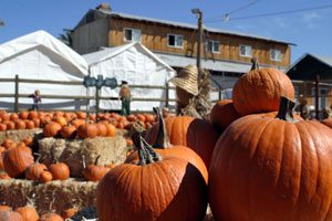 Pick your patch: Halloween pumpkins ready for harvest