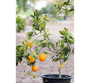 Its key to give your citrus tree some TLC 