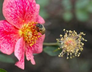 Mesa Community College Rose Garden
