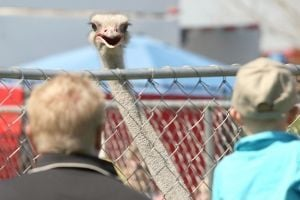 Chandler Ostrich Festival