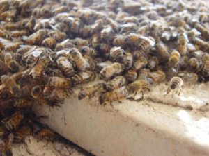 Spring brings out swarming bees
