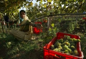 An unlikely wine industry takes root in India