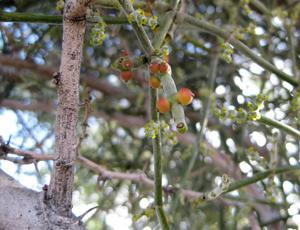 Phoradendron californicum fruit