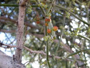 Phoradendron californicum fruit
