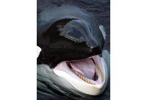 Movie star whale Keiko dies of pneumonia