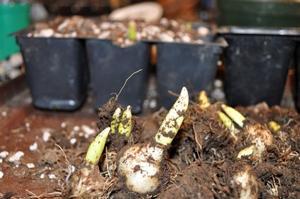 Gardening-Propigating Lilies