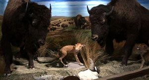 Bison Museum nestled in Scottsdale office park