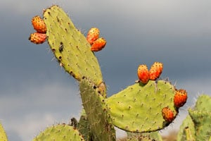 Prickly Pear.jpg