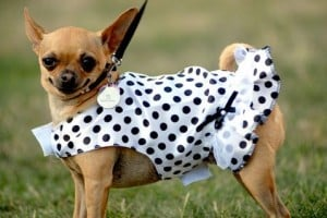 Chihuahuas: Anatomy of an unlikely athlete